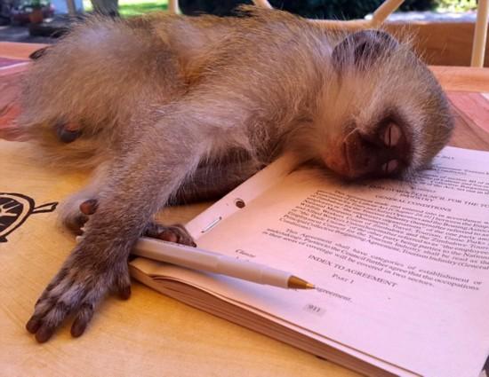 津巴布韦小猴超嗜睡 可随地打盹
