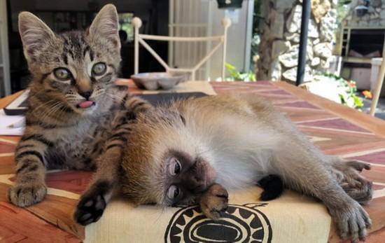 津巴布韦小猴超嗜睡 可随地打盹【2】