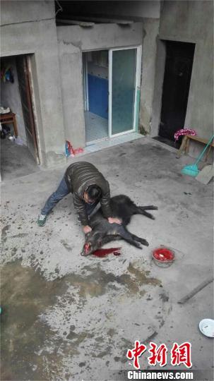 200多斤重野猪窜入农户家撒野民警开枪击毙