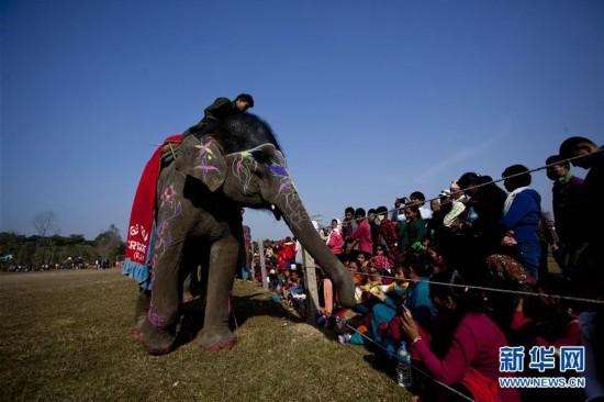 (国际)(2)尼泊尔举办大象选美比赛