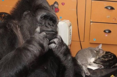 """猩猩用手语为气候变化""""发声""""吁人类拯救地球(图)"""