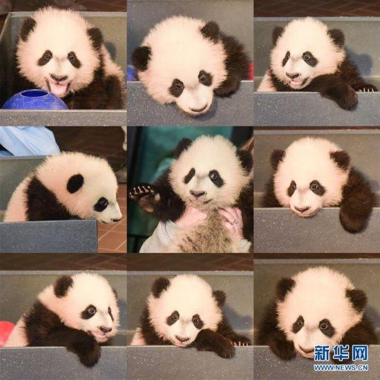 """(国际)(5)华盛顿国家动物园的大熊猫""""贝贝""""接受体检"""