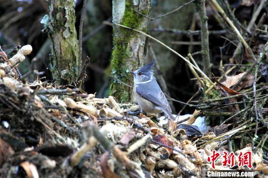 湖北神农架新发现珍稀鸟类褐冠山雀