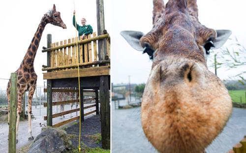 英国一只长颈鹿高达5.8米或为世界最高长颈鹿(图)
