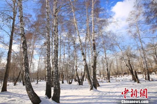 冬日中蒙边境白桦林冰雪覆盖美如童话世界(组图)