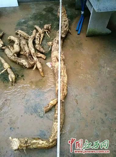 江西挖出巨型葛根