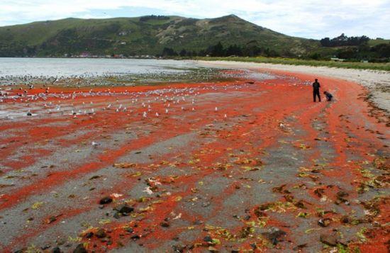 """新西兰小龙虾群被冲上海岸""""染红""""海水(高清)"""