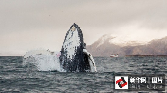 实拍:座头鲸霸气跃出海面(高清图集)