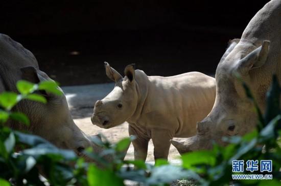 1月12日,小白犀牛在新加坡动物园里观察环境。新加坡野生动物保育集团在2015年迎来超过700头动物小宝宝。 新华社发 (邓智炜摄)