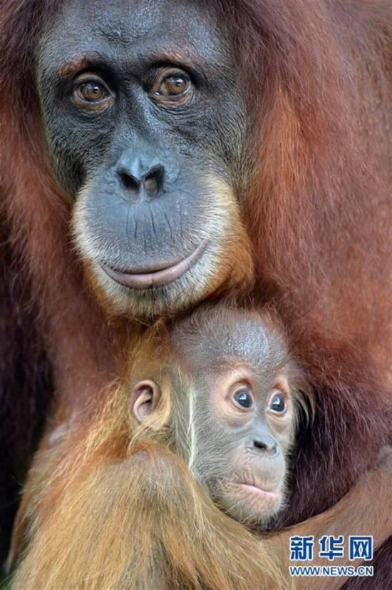 1月12日,小红毛猩猩在新加坡动物园里紧紧抱著妈妈.