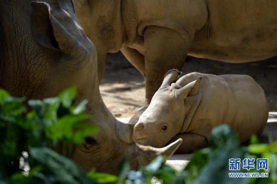 迷你犀牛侏儒河马 新加坡动物园2015迎超过700头动物宝宝