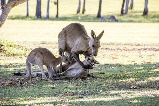 袋鼠妈妈临死前一幕 试图握住宝宝的手(高清组图)