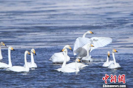 甘肃尕海湿地连续五年监测到国际环志大天鹅