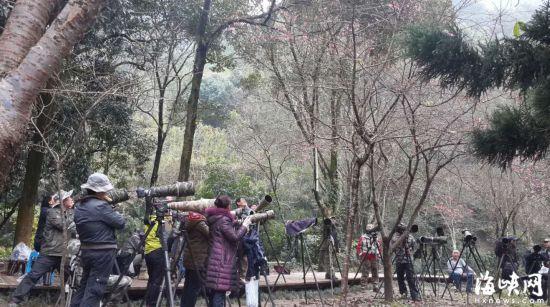 福州森林公园樱花开放花期持续至春节