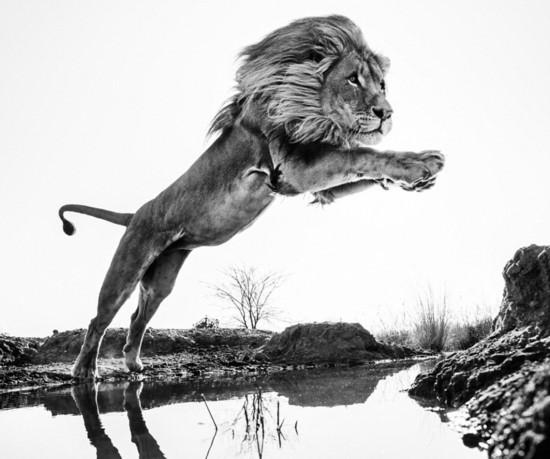 据英国《每日邮报》1月16日报道,近日,来自苏格兰的著名野生动物摄影师亚罗(Yarrow)在南非拍摄到了令人屏息的有力一幕:一头健硕的成年狮子四肢伸展,纵身一跃飞过了一条溪流。 据悉,摄影师亚罗(Yarrow)今年49岁,为了拍摄野生动物他花费了大量时间研究野生动物的习性和行为。狮子绝美的飞身一跃只是亚罗摄影集中的一张作品,他的作品给人与野兽近距离接触的感觉。 亚罗的这组作品采用了长焦镜头拍摄,他说这样可以避免将自身置于危险处境。亚罗本人不仅是尼康相机的代言人,也是非洲野生动物保护组织的一名成员。