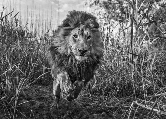 也是非洲野生动物保护组织的一名成员