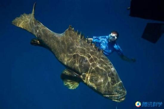 巨型石斑鱼:这种大型鱼类体重可达360公斤