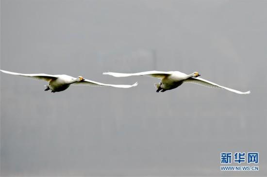 天鹅在山西平陆黄河湿地上空飞翔