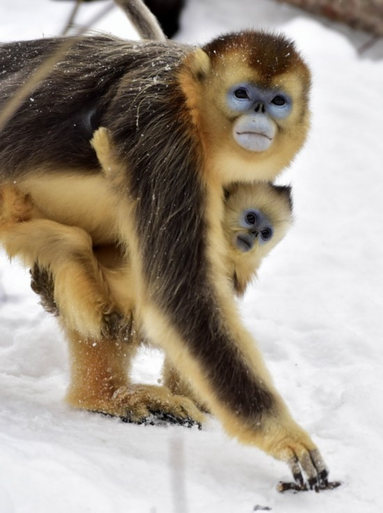 神農架野生金絲猴雪趣