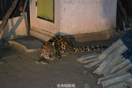 吉林珲春发现幼年野生东北豹 疑体力不支在村逗留