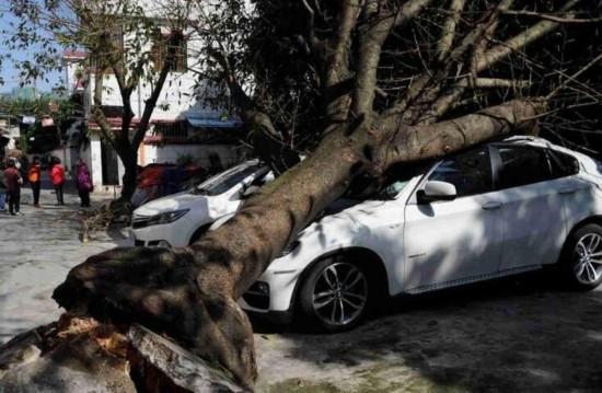 大树突然连根拔起:十几年大树头重脚轻突然倒地 砸坏停路旁宝马(图)图片
