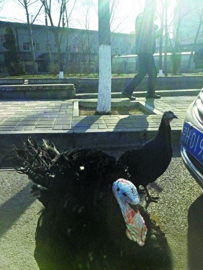 """疑动物园""""鸵鸟""""逃跑 原来是居民家养的火鸡"""