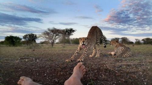 摄影师与这群猎豹相处了6周时间。