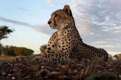 沃尔胡特拍摄的猎豹照片。