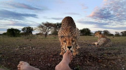 母豹靠近摄影师,轻舔他的脚趾。