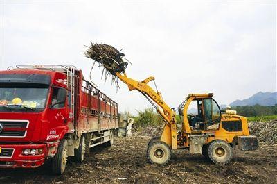 三岔镇迎来图片甘蔗砍运儿童图片的高潮榨季字搞笑带图片