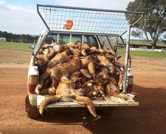 (组图)澳大利亚野生狐狸成灾 农民捕杀惹争议