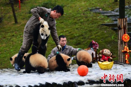 """熊猫幼仔保育员:陪伴特别的""""家人""""过年"""