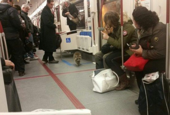 【环球网综合报道】据美国合众国际社2月2日报道,近日,加拿大多伦多市一只调皮的小浣熊大摇大摆地登上了早高峰的地铁,似乎想加入上班族的行列,引起了地铁乘客的围观。