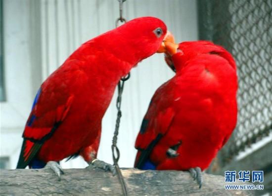 #(晚报)(3)鹦鹉的浪漫情人节
