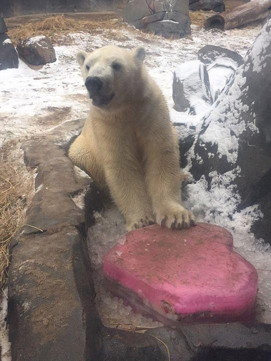 """美动物园北极熊获情人节""""大礼"""""""
