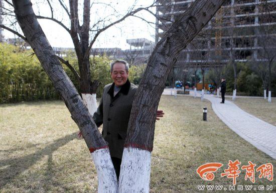 甘肃老人心系乡情西安种沙枣树 一颗6年大树被砍