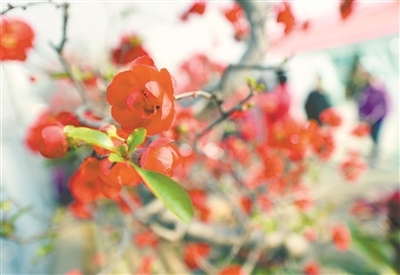 南京莫愁湖公园海棠开放 传递春天气息