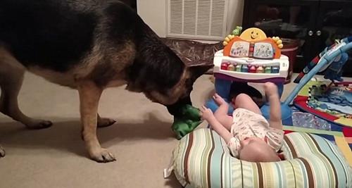 美宝宝和牧羊犬玩拔河游戏场面温馨(图)