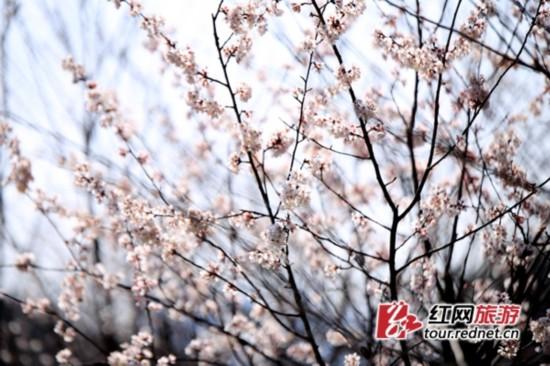 长沙园林生态园内浪漫的白色早樱。   近日,长沙园林生态园内1000多株本地樱花树相继绽放出美丽的笑脸,绚丽多彩的美丽花朵与园内成片的绿色交相辉映,为早春带来一片靓丽色彩,拉开了该园今年最佳赏花季的序幕,引得游人驻足欣赏。   长沙园林生态园内,粉红色的樱花一朵朵一丛丛,婀娜多姿,别有一番风韵。樱花树下,园林工人正将风信子、郁金香等花种球装盆下地,待到3月到5月期间,生态园内的日本晚樱、松月、普贤象等樱花品种先后盛开时,20万盆郁金香、风信子、番红花、花贝母、花毛茛等多种名贵花卉将轮番绘出花样美景,