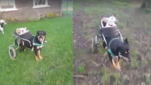 """你是我的眼:狗狗用轮椅载失明同伴""""散步""""(图)"""