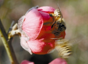 3月深圳莲花山桃花朵朵开 周末走起 组图