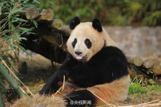 中国两只大熊猫将赴韩国 入住3300平米熊猫馆