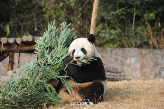两只大熊猫将赴韩 行前呆萌照曝光
