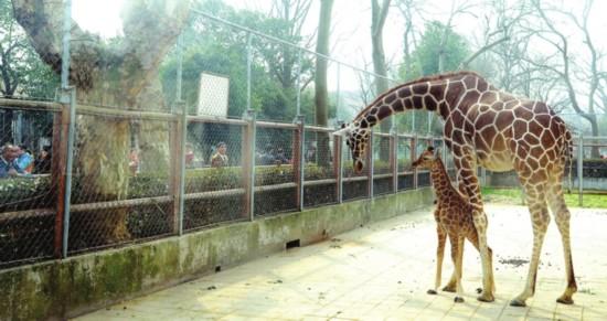 苏州动物园长颈鹿宝宝首见游客