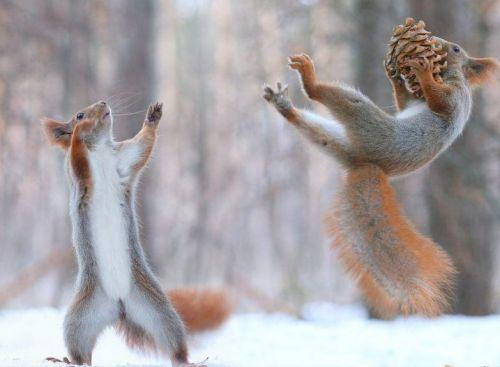 松鼠雪中大战 鹬蚌相争渔翁得利 最后主人 赢了
