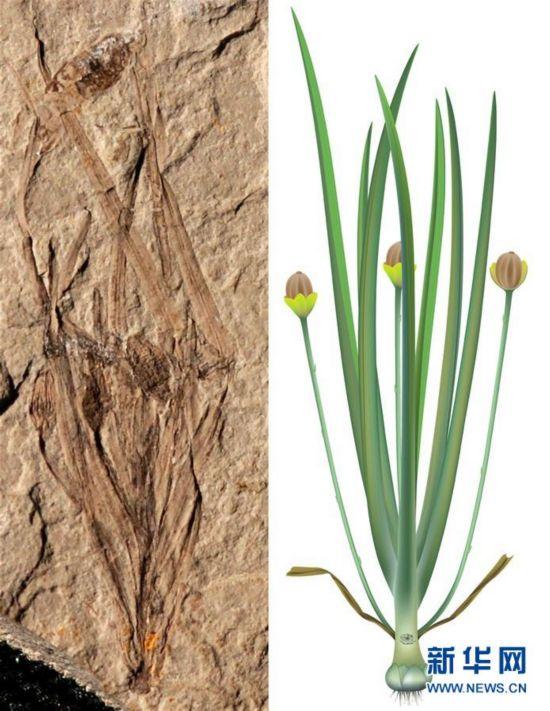 (圖文互動)我國科學家發現世界上最早的草本被子植物