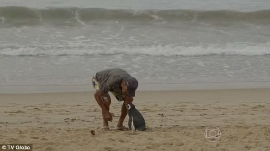企鹅被救下后 每年游8000公里回来看恩人