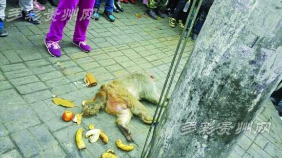 贵阳一猴子爬电线杆遭电击致200户停电