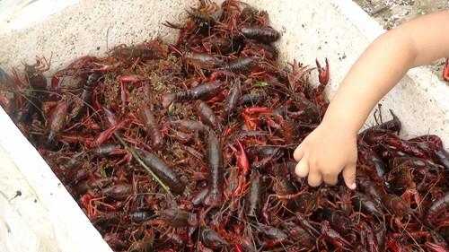 美国印第安纳盛产小龙虾副州长最爱龙虾盖浇饭