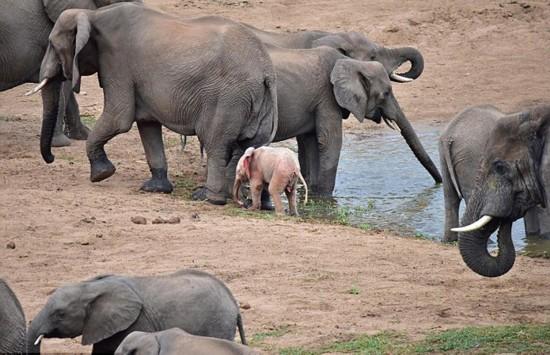 南非野生动物园发现罕见粉红色幼象--北京频道--人民